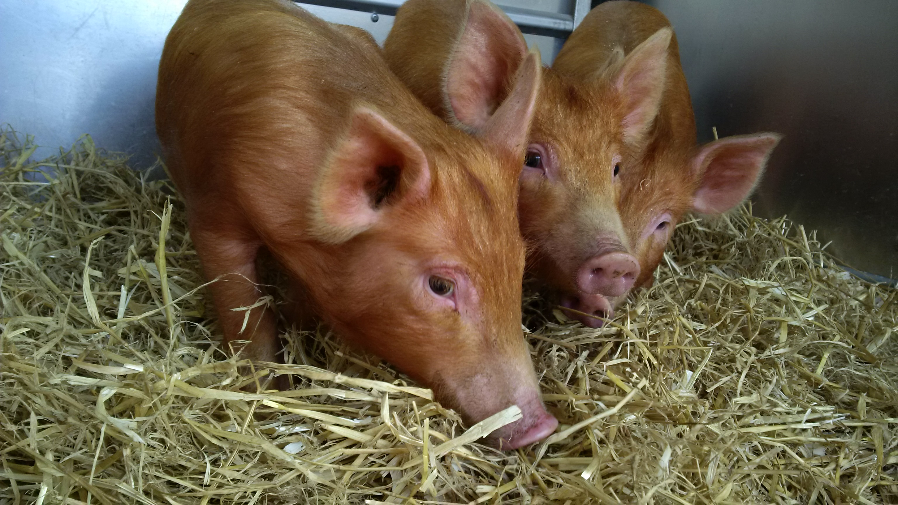 Tamworth piggies arrive