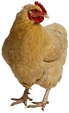 chicken-transparent-background.png