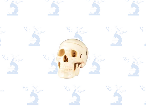 Modelo Cráneo de Adulto
