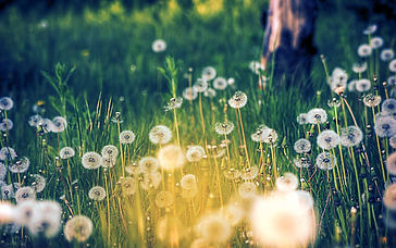beautiful-dandelion-wallpaper-7.jpg