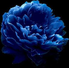 peony blue.jpg