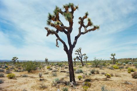 Proud Trees of the Desert