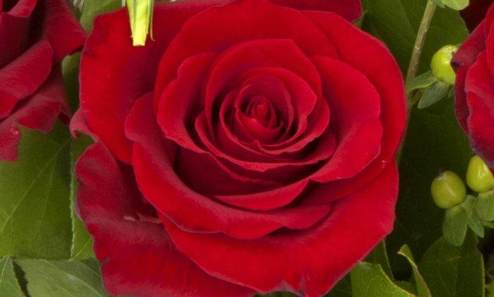 Six Luscious Roses