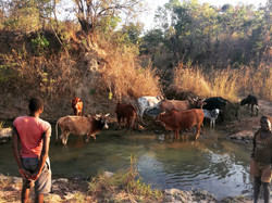 Cows in river drinking water copy.JPG