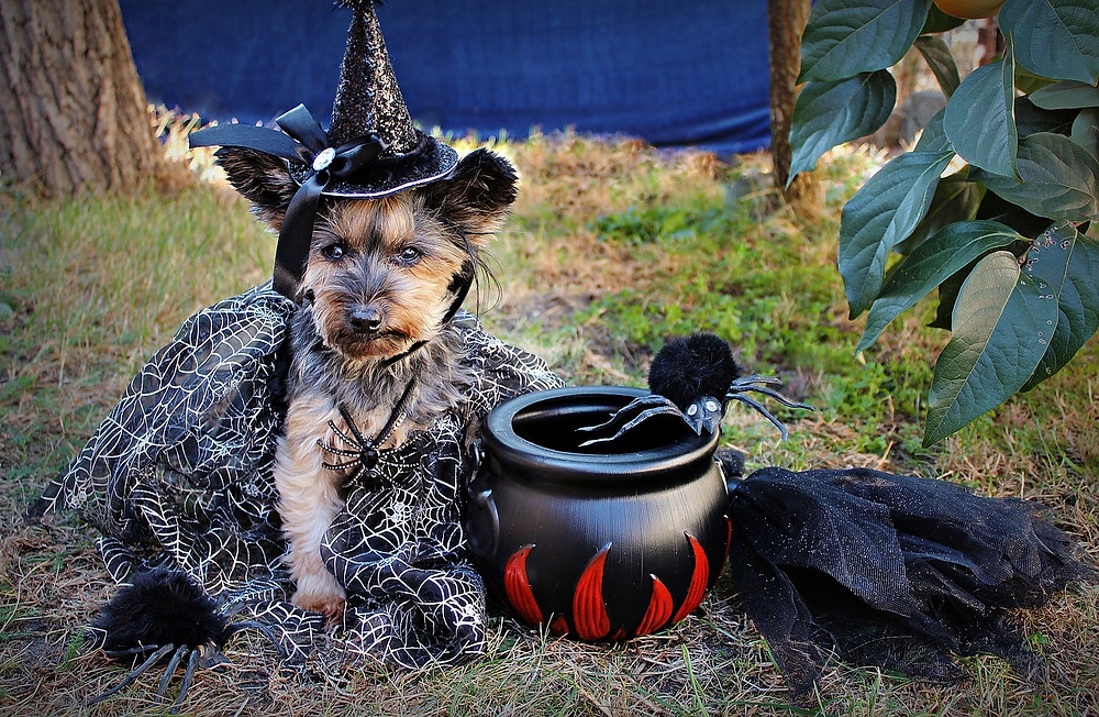 Yorkshire Terrier in witch's outift
