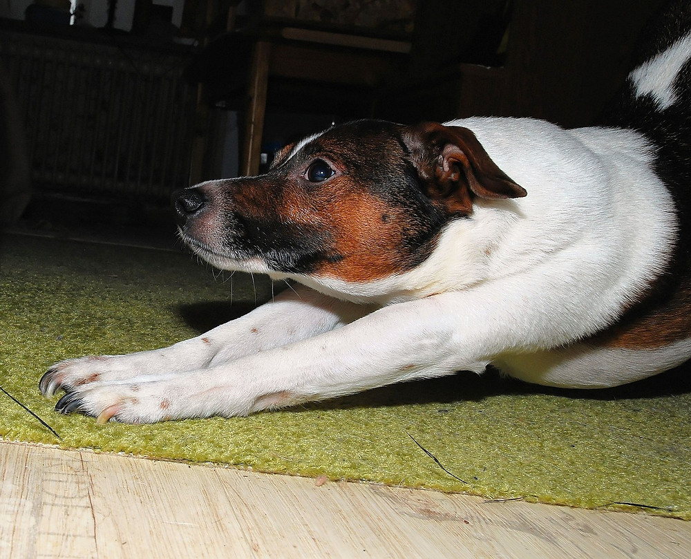 Terrier bow-stretching on rug