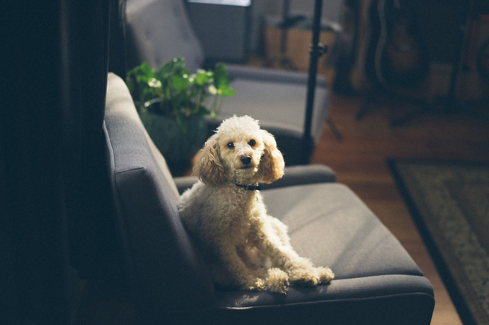 Poodle sitting on sofa