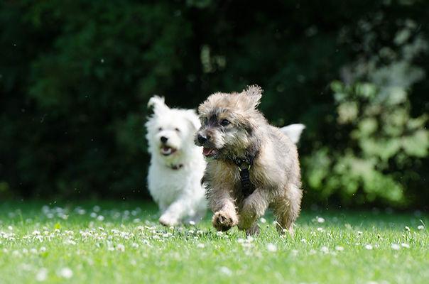 Two dogs running.jpg