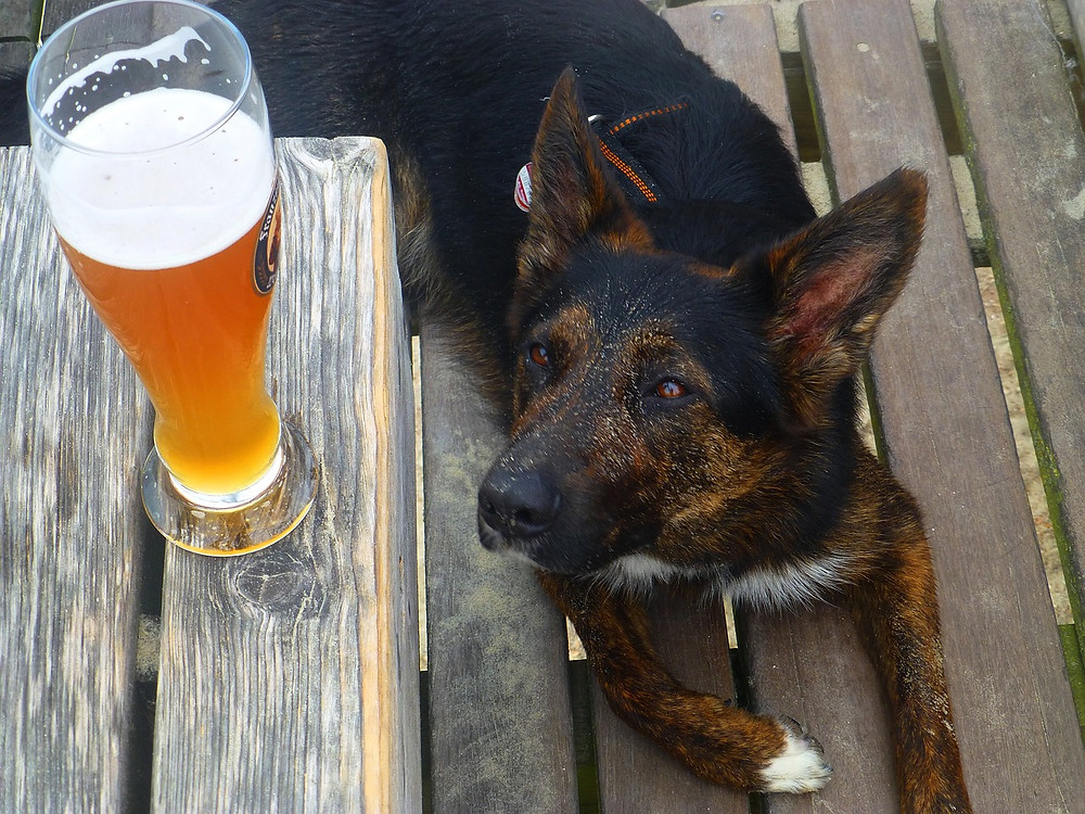Dog looking up at table with pint of beer on it