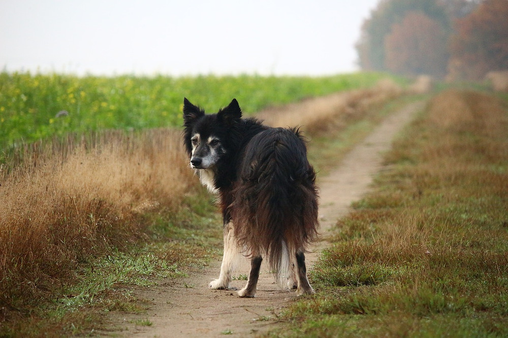 Old Border Collie standing on track