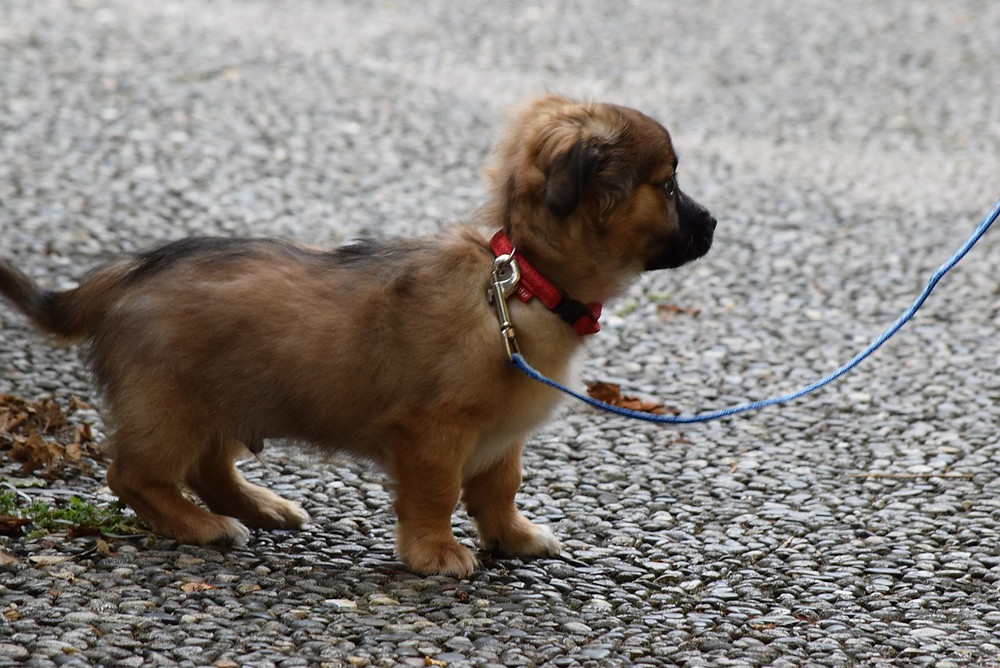 Young puppy on a lead