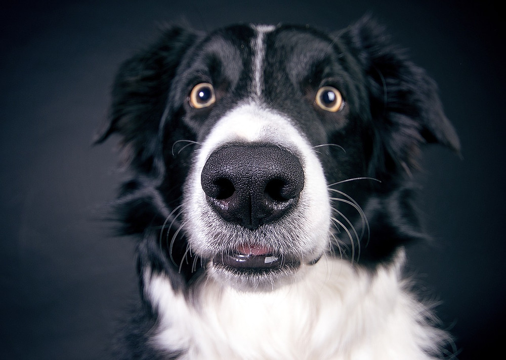 Close-up of Border Collie's face