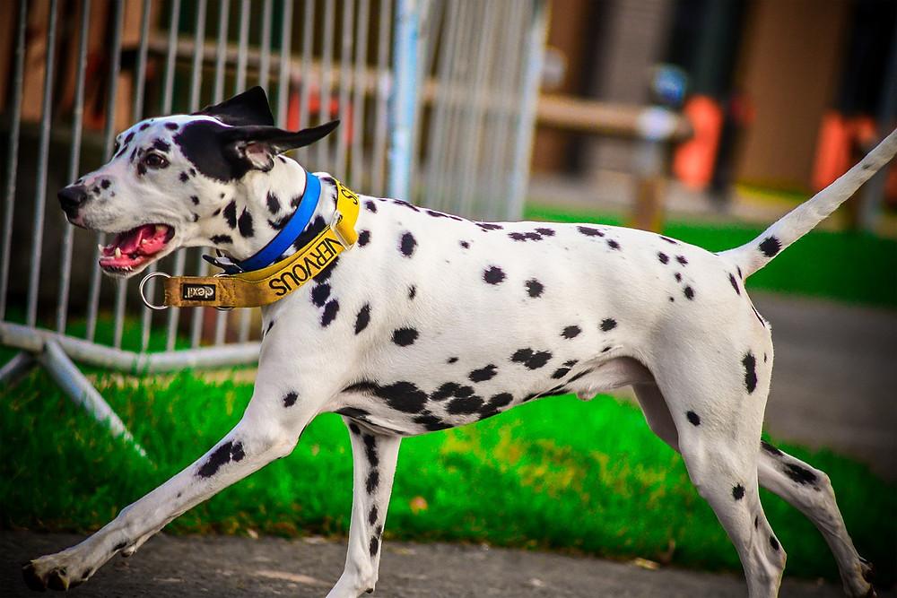 Dalmatian wearing yellow 'nervous' collar