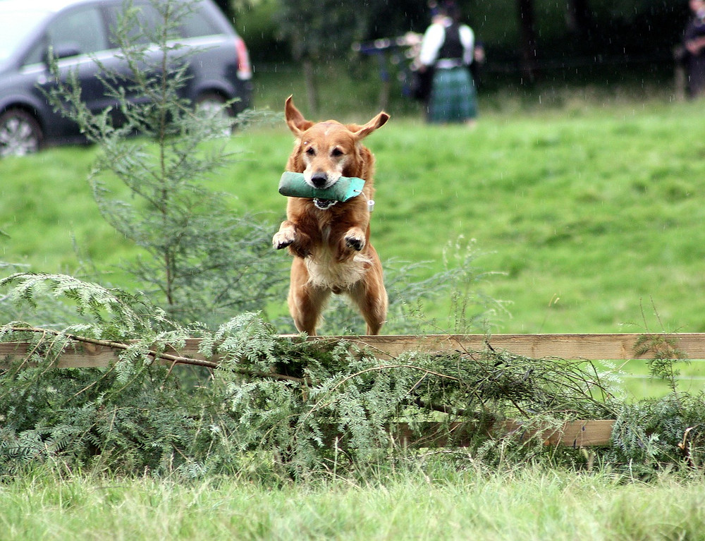 Gundog carrying dummy whilst jumping log