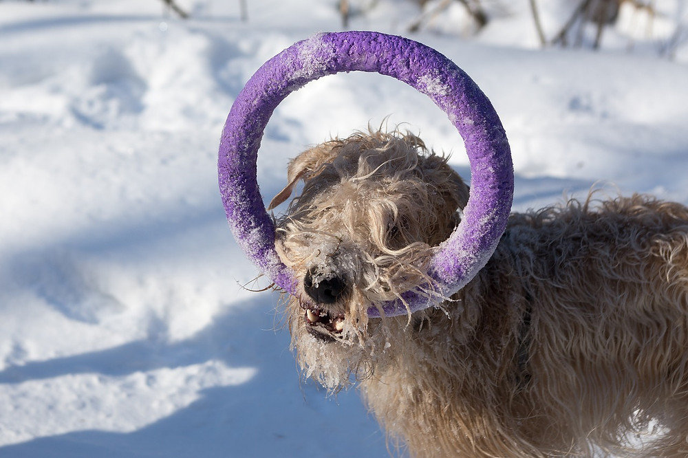 Dog holding hoop toy in the snow