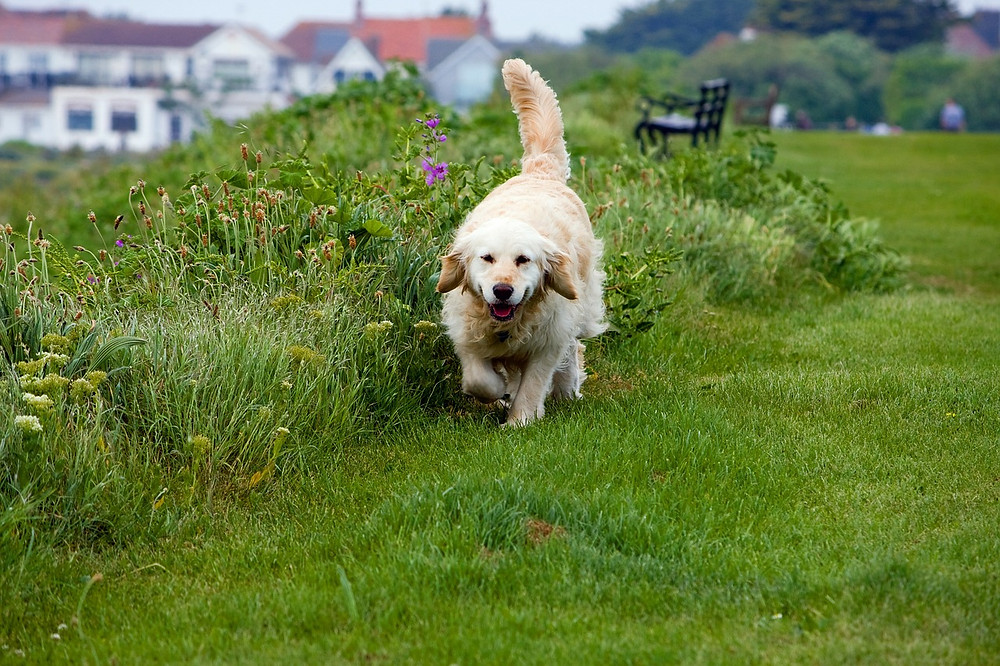 Golden Retriever trotting on grass