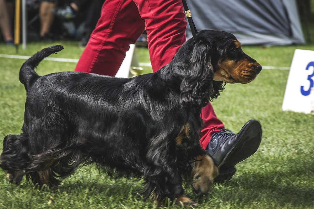 Cocker Spaniel being walked around the show ring
