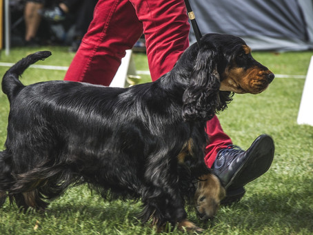 How the Show Dog's muscular system influences their success