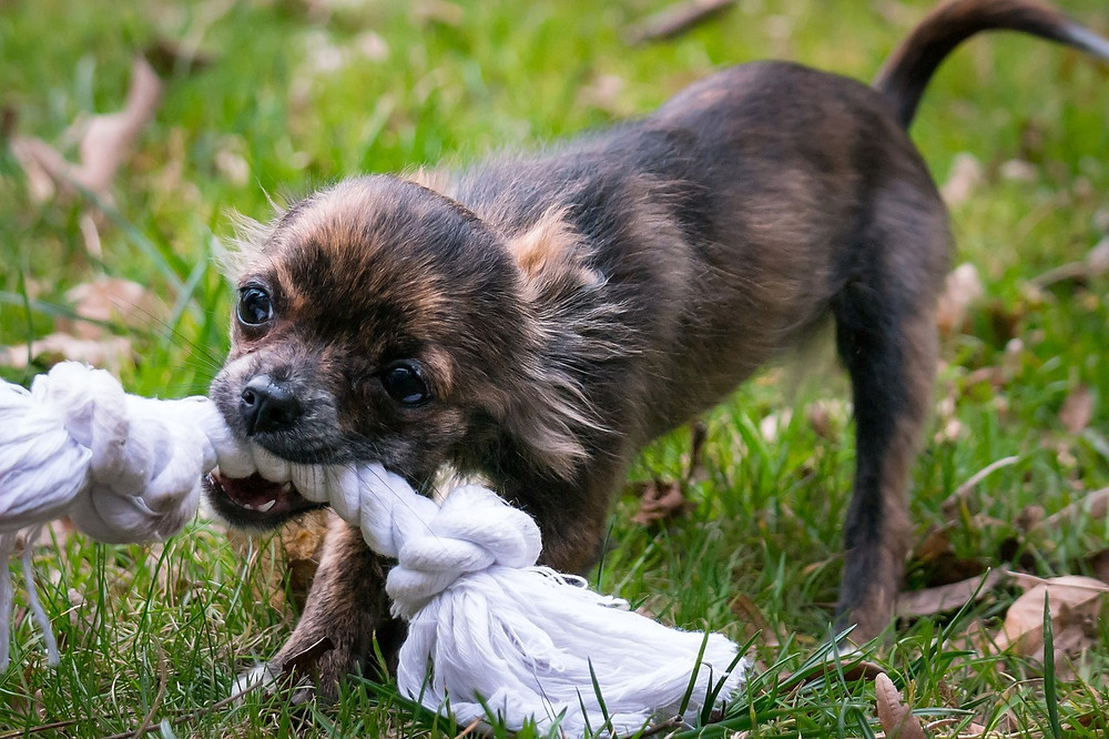 Chihuahua puppy pulling tug rope