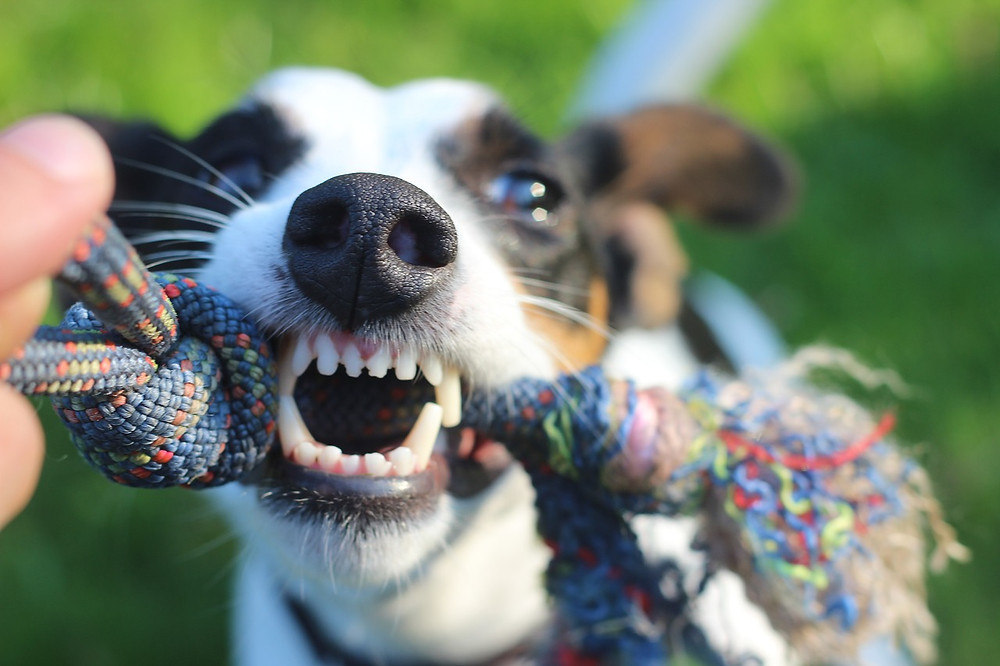 Terrier puppy playing tug with a rope