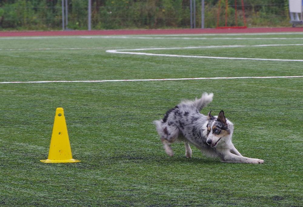 Border Collie turning fast around a cone