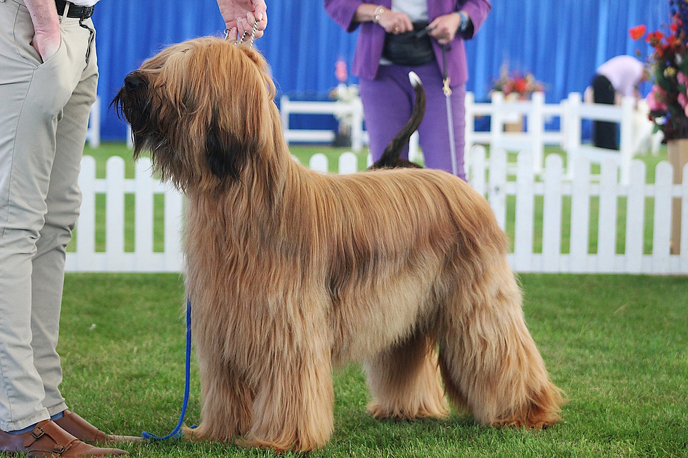 Briard standing in show ring