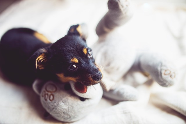 Puppy resting head on toy at home