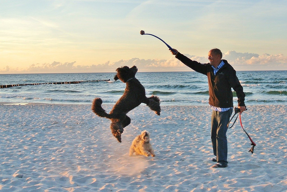 Dog jumping up at ball chucker held by man on beach