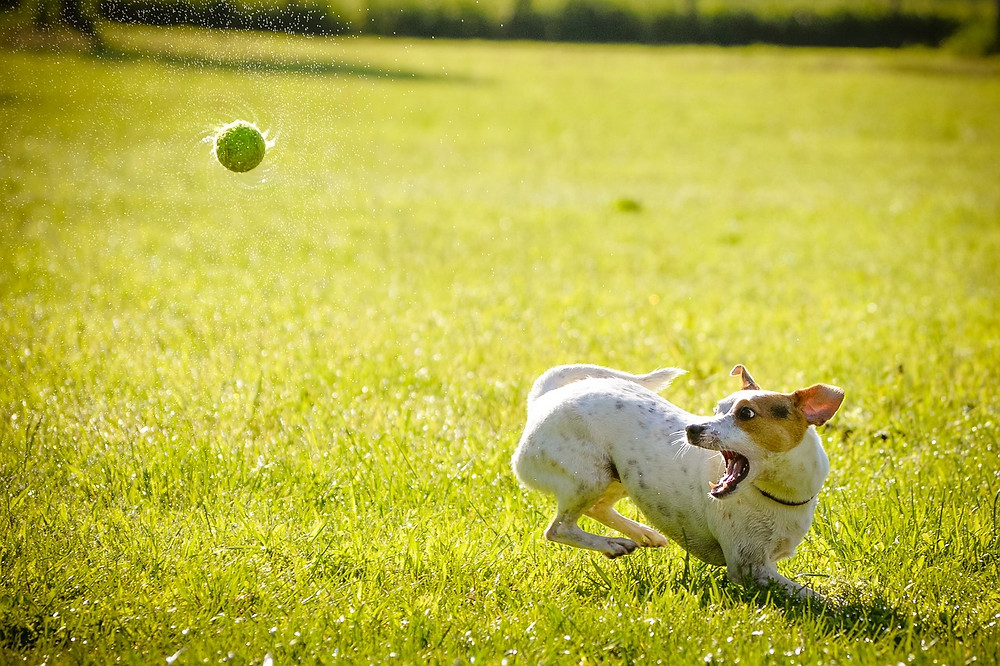 Jack Russell Terrier turning mid-run to catch a ball