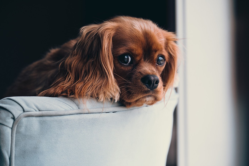 Worried-looking King Charles Spaniel on sofa