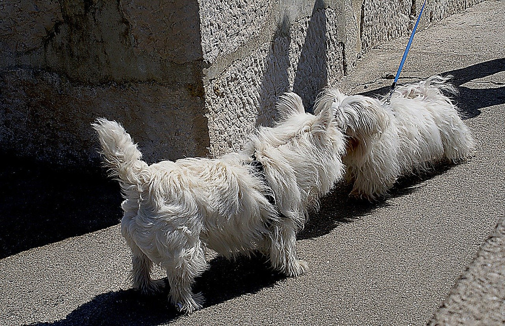 Off-lead white dog greeting on-lead white dog