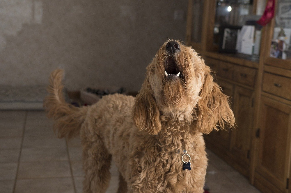 Dog in house alone barking