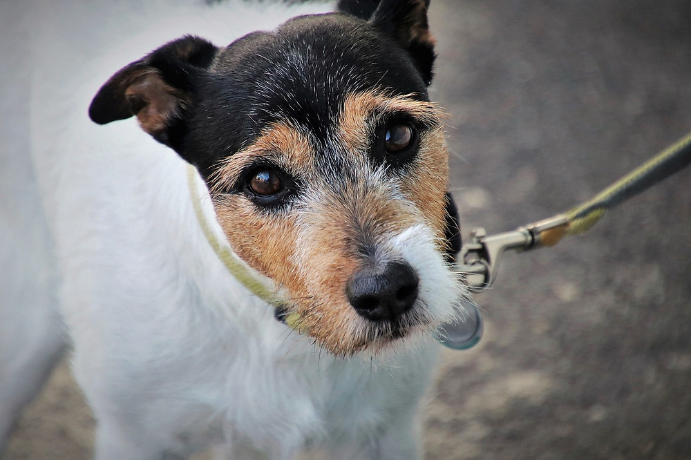 Old Terrier on a lead