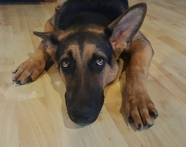 German Shepherd Dog laying on floor with big eyes looking up