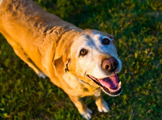 Old yellow Labrador with rippled coat along their back