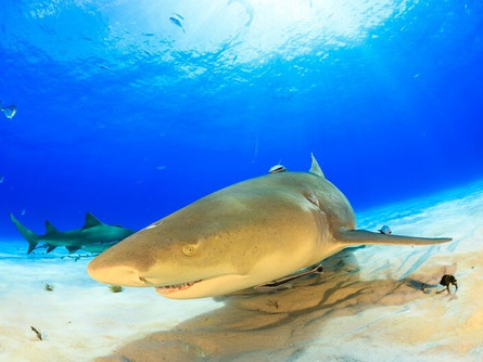All about Lemon Sharks
