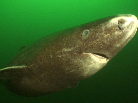 The Slowest Shark: Greenland Sharks