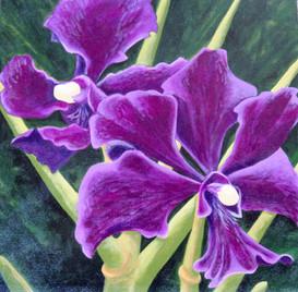 """""""Velvet"""" (Orchid)"""