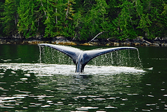 Legacy Lodge humback whale sounding