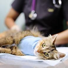 Veterinary Surgery Cat