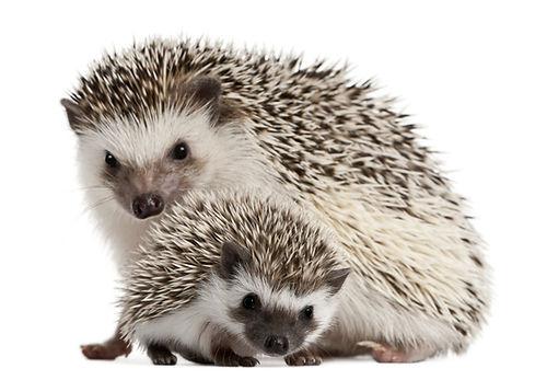 Hedgehog Veterinary Specialist