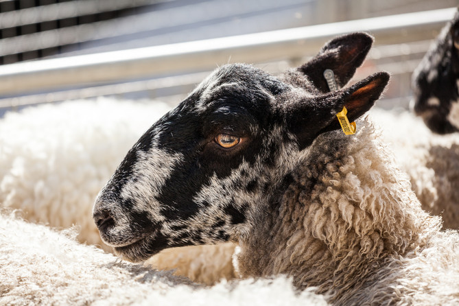 2017 Sheep Drive