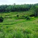 West Java rice paddies.jpg