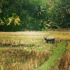 #buffalo #java