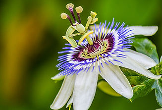 493ss_thinkstock_rf_passionflower.jpg
