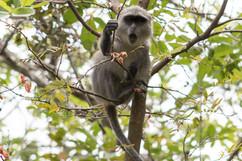 Jozani Forest, Blue Monkey