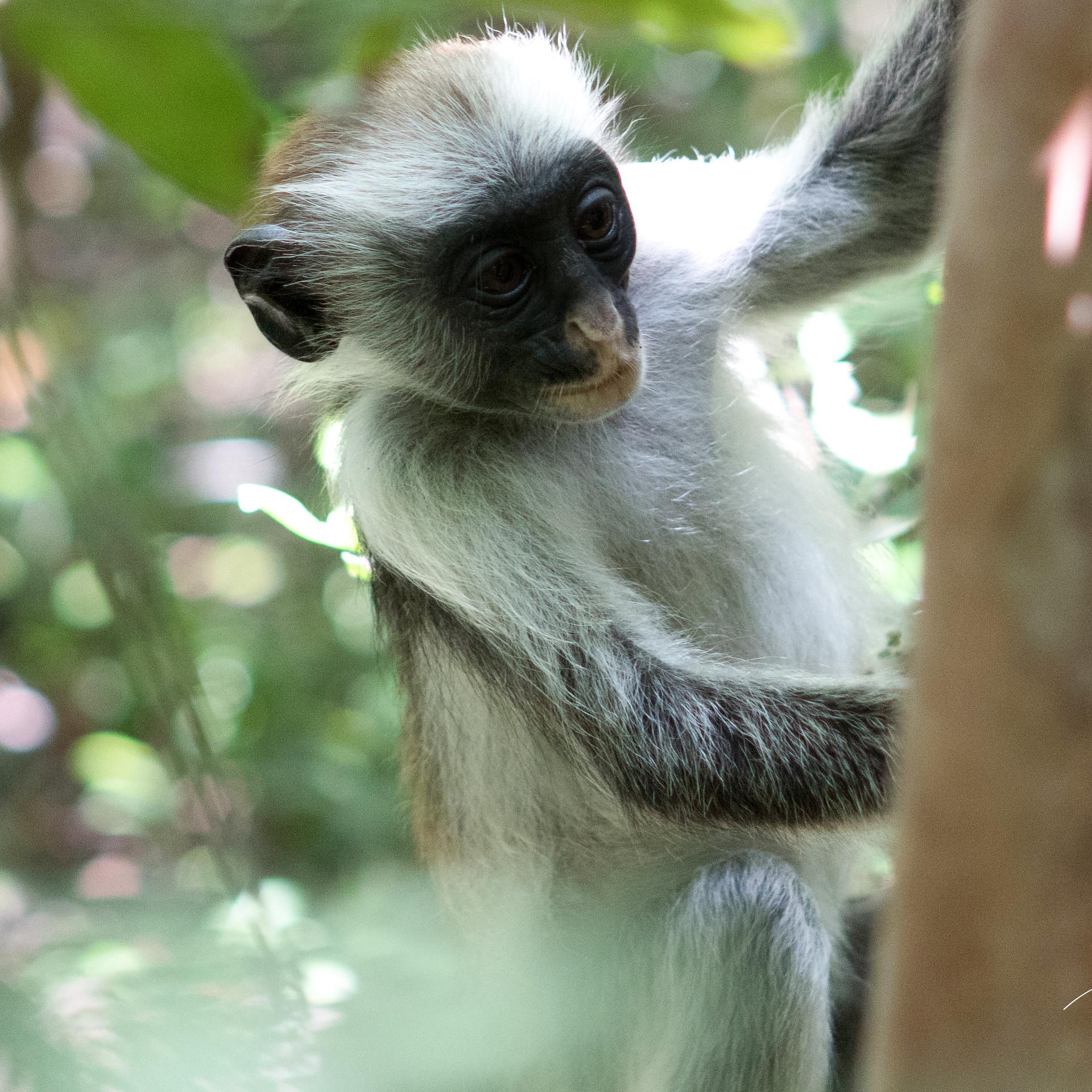 Jozani Forest, Red Colobus monkey