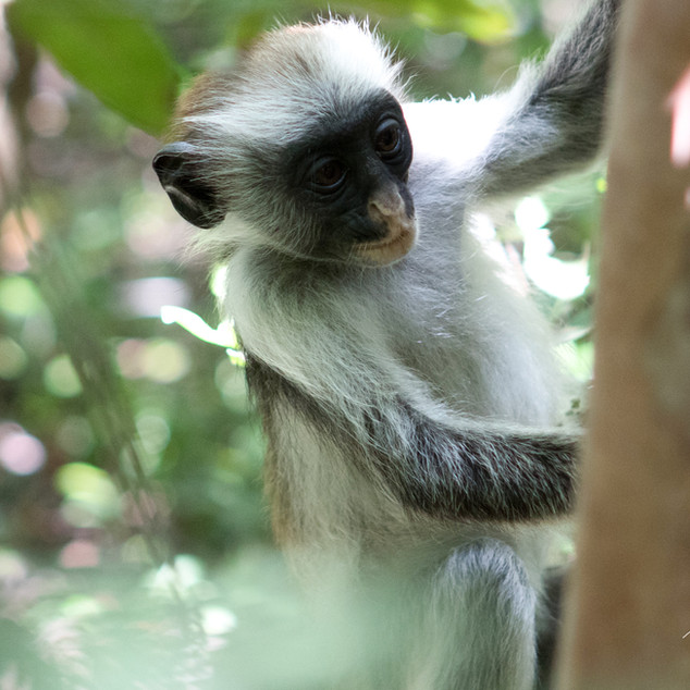 Jozani Forest, Red Colobus monkey