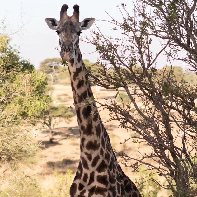 Hello says Giraffe
