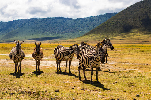 Zebra. Far left Zebra is pregnant